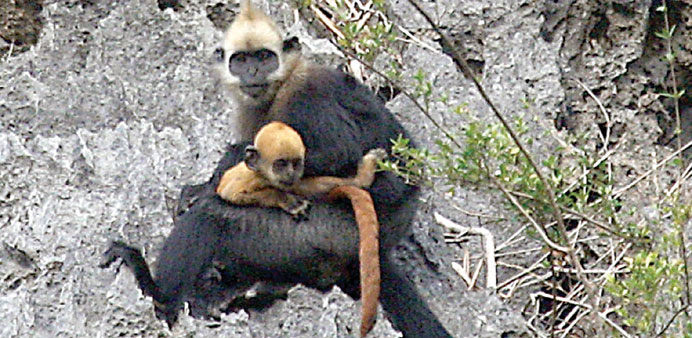 A mother langur and offspring in the Cat Ba National Park of Vietnam.