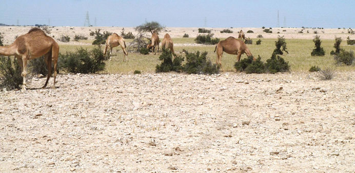 There is a ban on camel-grazing in the open.